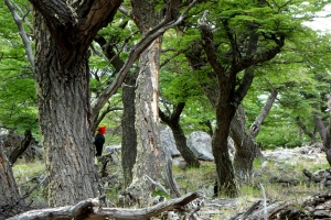 Giant Woodpecker