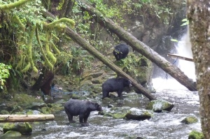 Black bears enjoyng the salmon run on Vancouver Island