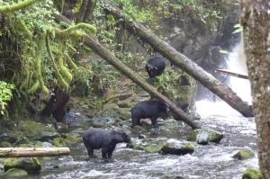 Black bears enjoyng the salmon run on Vancouver Island